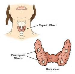 parathyroid gland picture 7