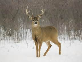 if female deer mate with male deer that picture 3