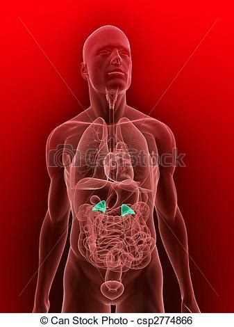 bladder illustrations and clip stock illustrations art picture 3