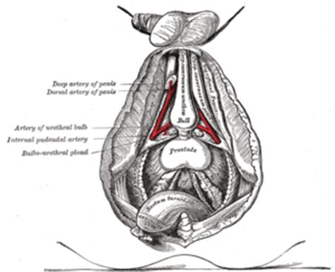 what gland cleanse the penis picture 17