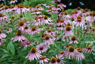 echinacea purposes picture 7