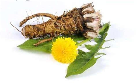 dandelion root tea belly fat picture 1