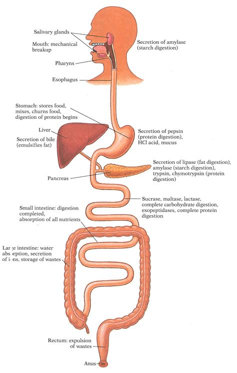 human digestion system picture 10
