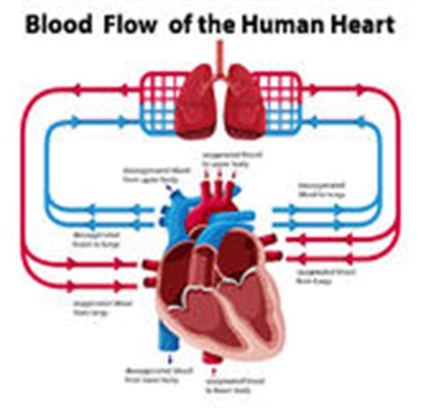 fl0w chart on the process of blood circulation picture 2