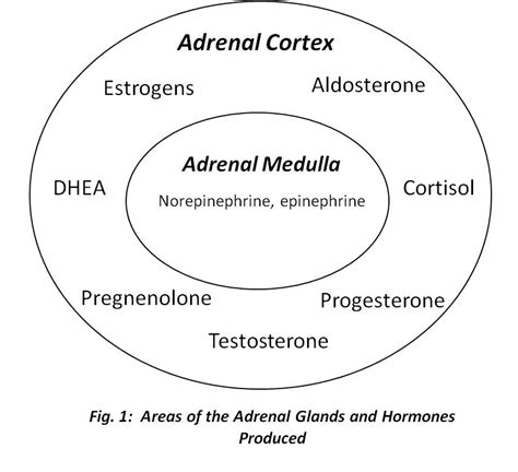 aging and adrenal cortex picture 15