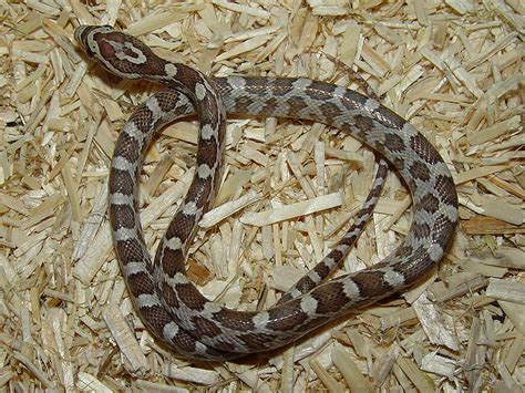 corn snakes h picture 9