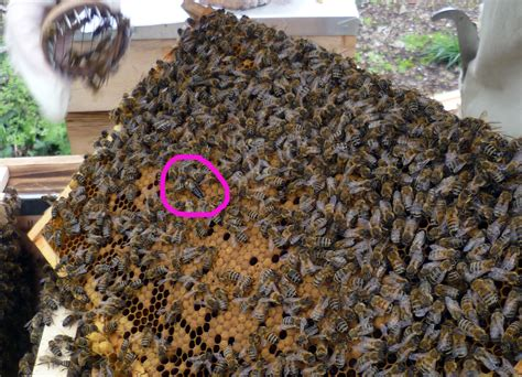 how many queen bees in a hive picture 1