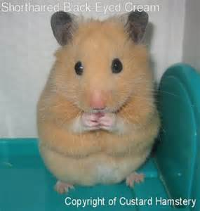 short hair hamsters picture 11