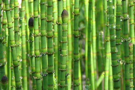 horsetail silica picture 2