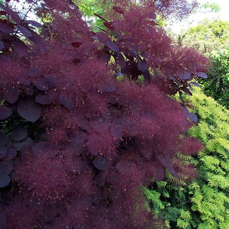 smoke tree, pink mist for sale picture 6