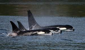 killer whale h picture 3