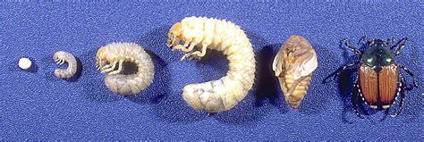 pheromones japanese beetles picture 10