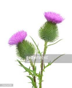 scottish thistle picture 7