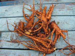 Yellow Dock Root picture 2