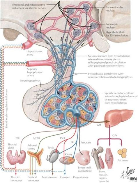 anterior pituitary hyperhormonotrophic syndrome symptoms picture 7