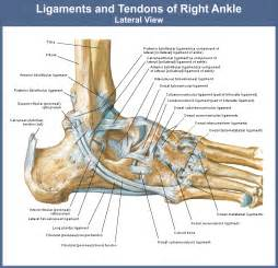 ligaments picture 6