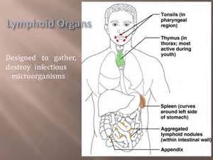 thymus gland picture 1