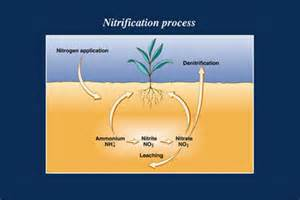 bacterial role in nitrogen cycle picture 5
