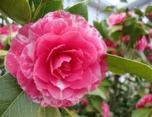 microdermx camellia oil picture 13