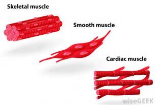 human muscle tissue picture 11