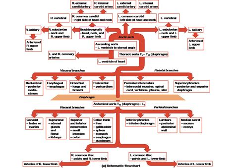 fl0w chart on the process of blood circulation picture 13