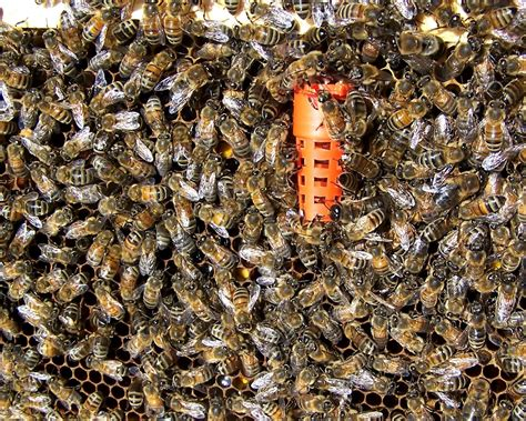 how many queen bees in a hive picture 3