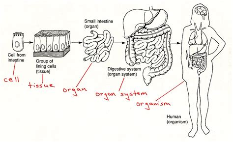 what does intestinal intersial cell produce picture 10