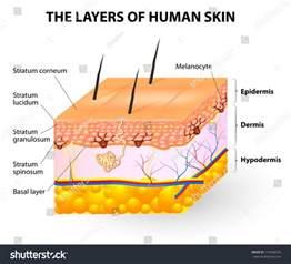 skin structure visuals picture 3