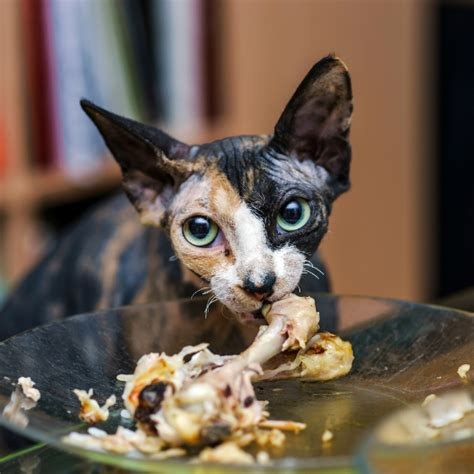 cat eating but skin and bones picture 13