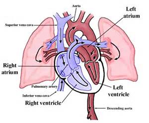 discover of blood circulation picture 1