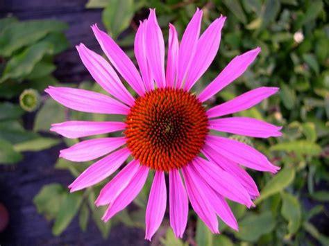 echinacea studies picture 5