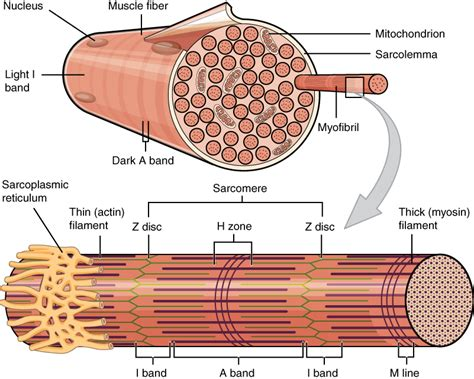 anatomy of skeletal muscle fiber picture 17