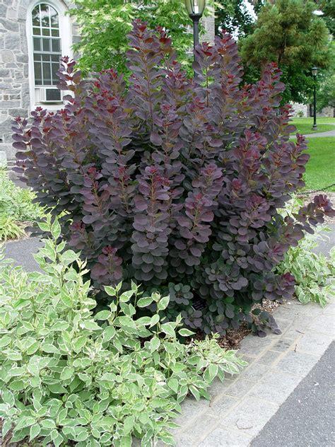 smoke bush maintenance picture 6