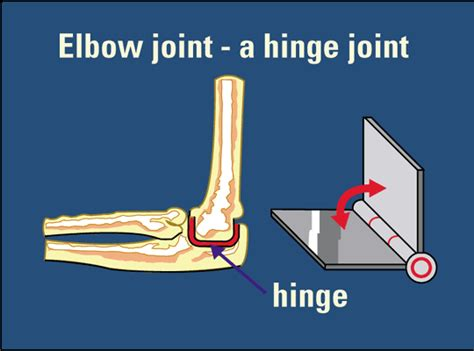 hinge joint picture 6