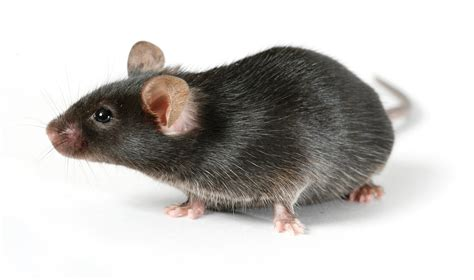 cholesterol studies in rats picture 15