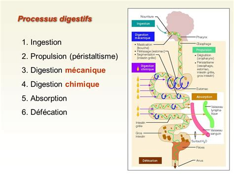 digestion and absorption picture 11