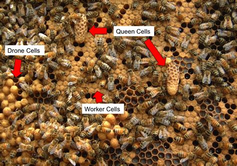 how many queen bees in a hive picture 4