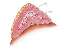 suprarenal gland picture 11
