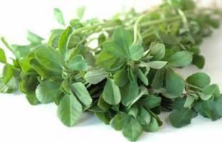 fenugreek trigonella foenum graecum to lower cholesterol picture 2