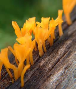 yellow fungus picture 11