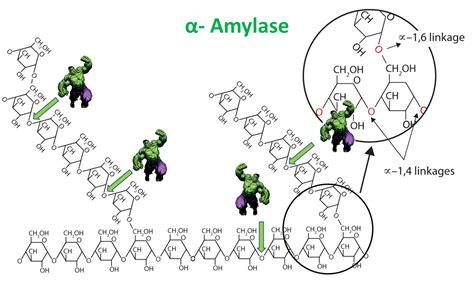 alpha amylase amylose digestion picture 1