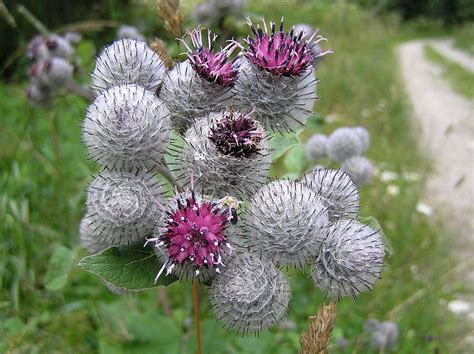how to make burdock tea for garden use picture 9