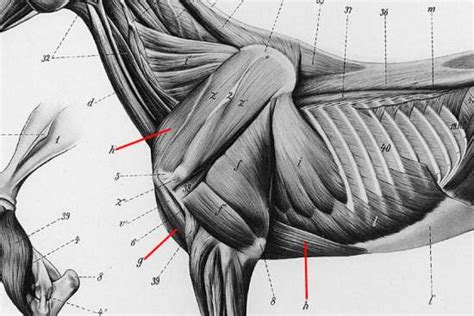 do torn attachments of the pectoralis muscle need picture 13