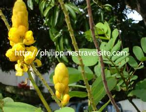 herbal plants in the philippines for abortion picture 1