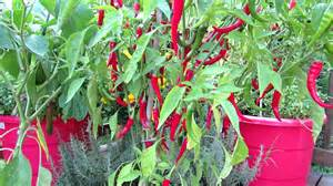 cayenne pepper erection size picture 17