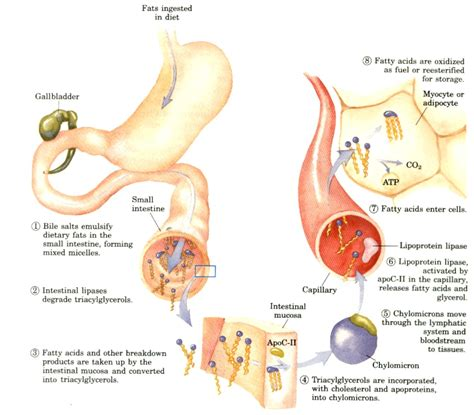 the process of digestion and metabolism of a picture 1