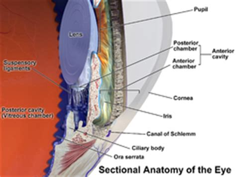 function of the cilary muscle picture 5