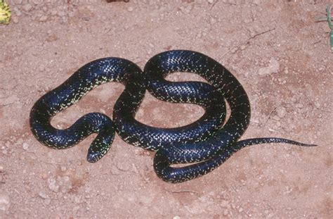 aging your king snake picture 10