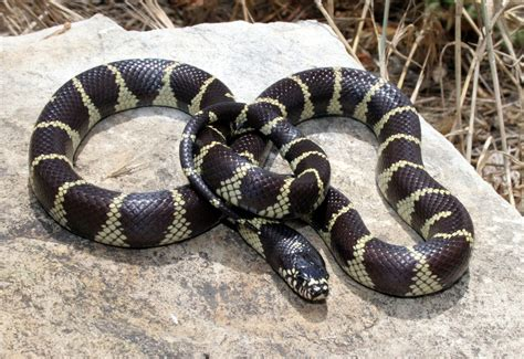 aging your king snake picture 6
