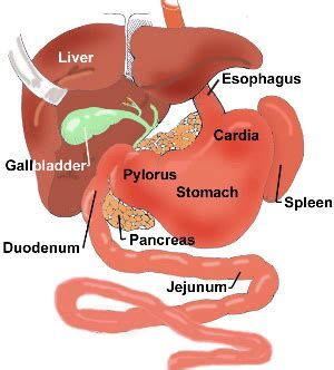 duodenum stomach colon picture 5